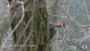 Pileated Woodpecker seen in backyard 01-17-16