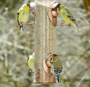 Goldfinches at our feeders