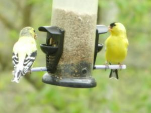 Goldfinches April at our feeders